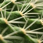 ASG 257 CACTUS CLOSE UP